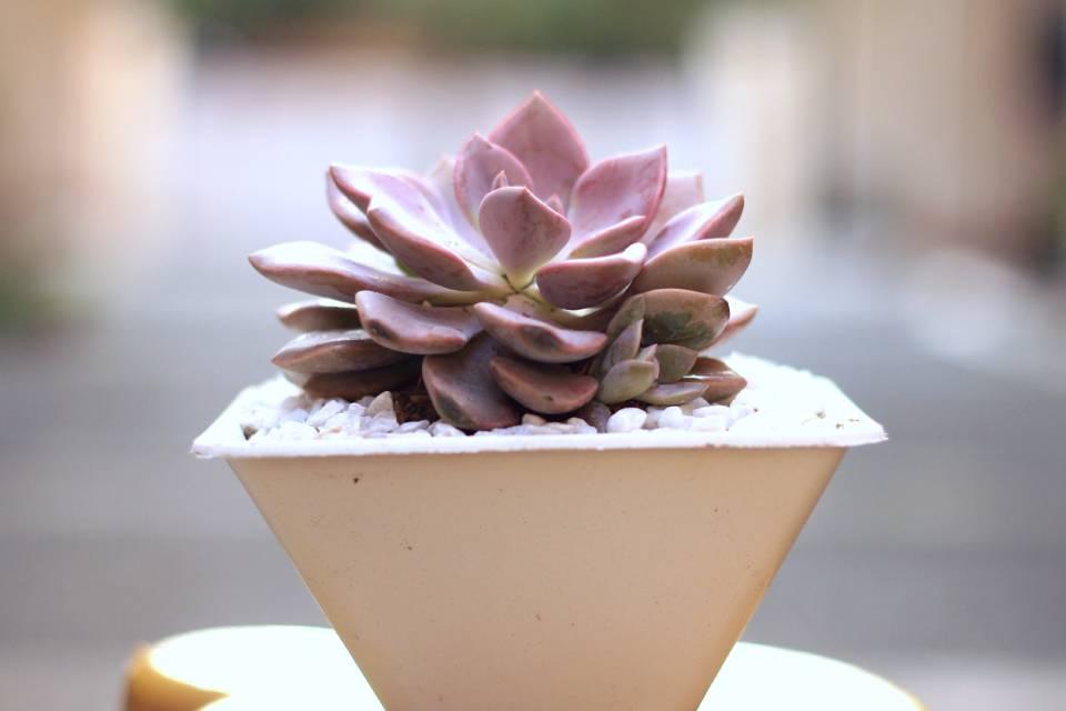 decoración plantas suculentas